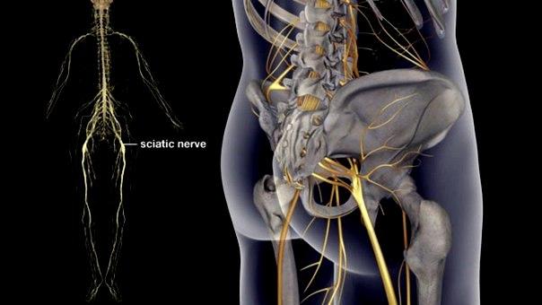 Nervo sciatico (o ischiatico)